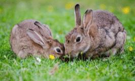 家兔-野兔