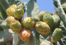 prickly pears 3629859 1280- -